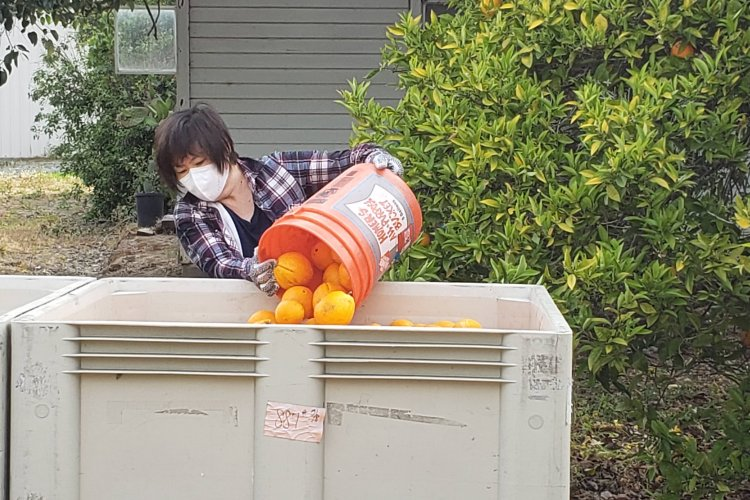 Volunteer emptying bucket of oranges