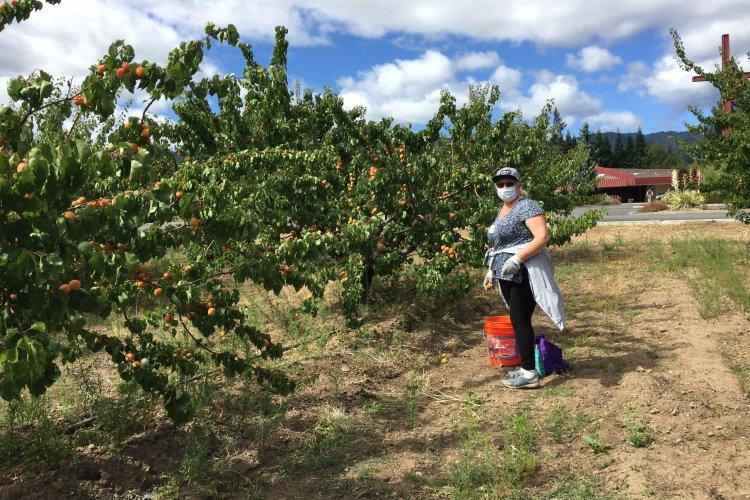 Orchard row view, Saratoga