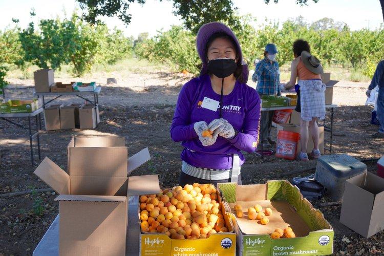 Volunteer sorting apricots June 20 Saratoga