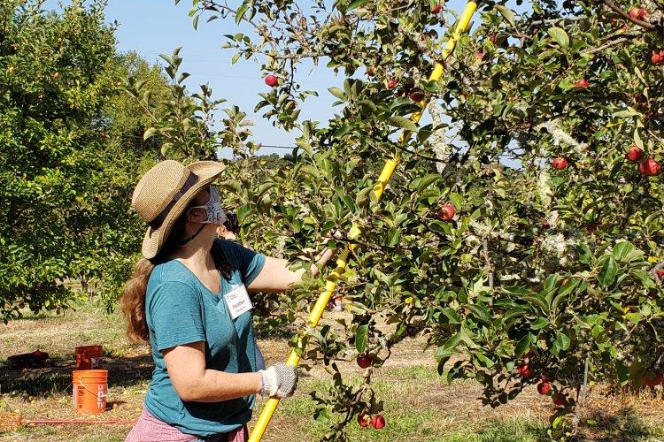 Volunteer harvesting apples