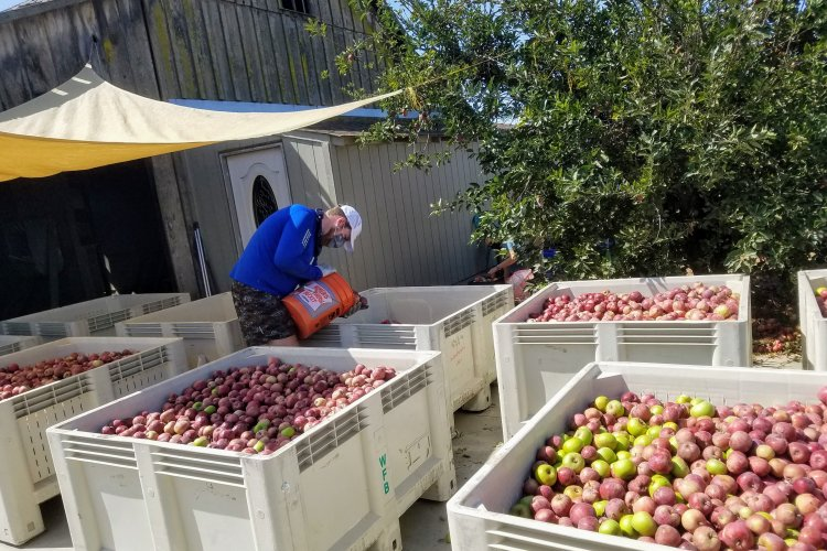 Filling bins with apples after sorting