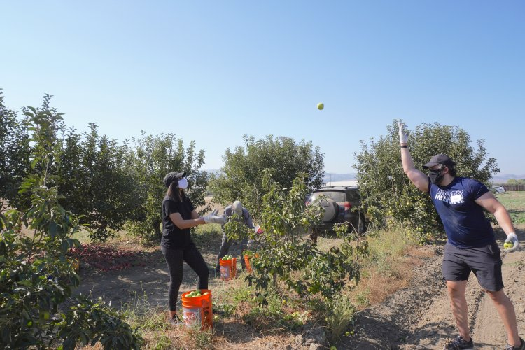 Picking apples and tossing to a family member