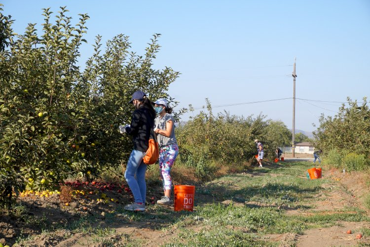 Volunteers harvesting San Juan Bautista orchard row