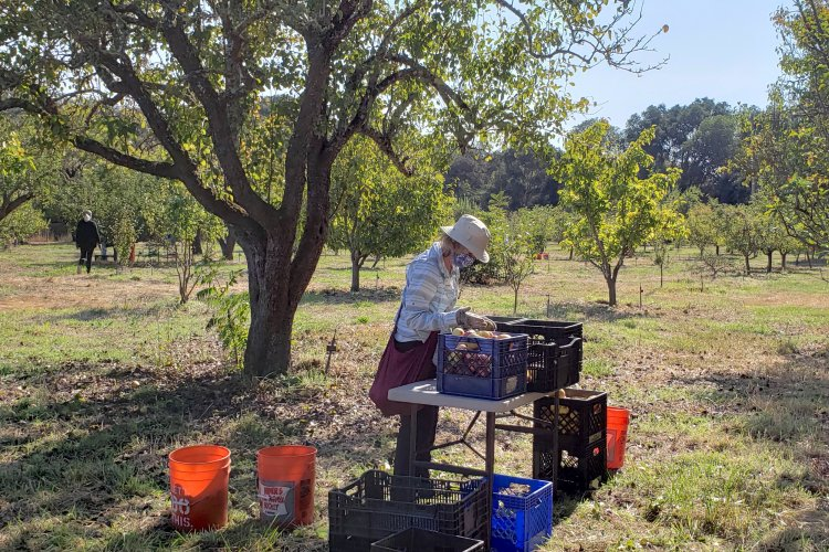 Field sorting of apples at Filoli