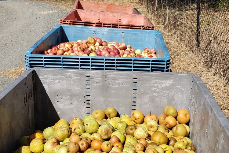 bins of pears and apples