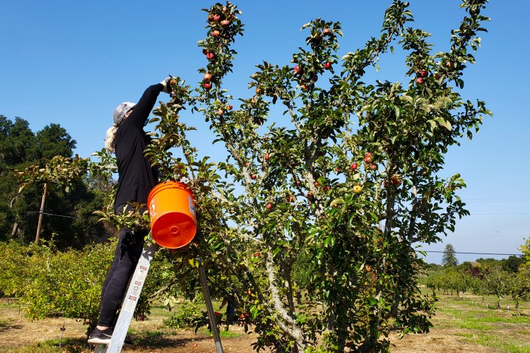 Harvesting apples from a ladder