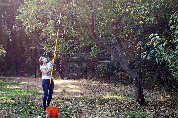 Volunteer harvesting a tall tree with a pole picker