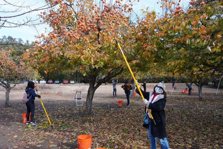 Fuyu persimmon orchard volunteers