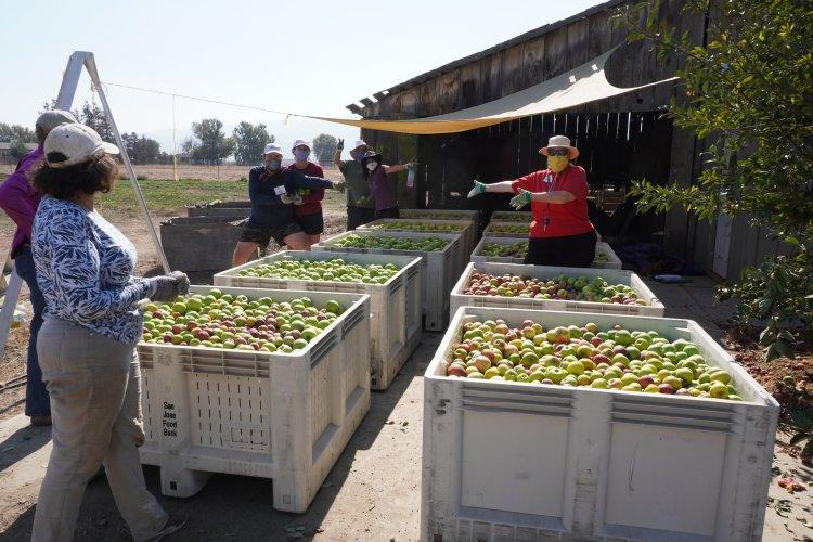 San Juan Bautista orchard bins filled with apples