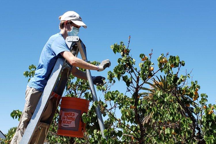 Northeast San Jose apricot orchard