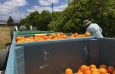 Orange orchard trailer, bins, and volunteer