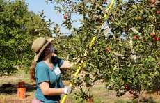 Volunteer harvesting apples