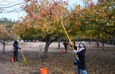 Fuyu persimmon orchard volunteers