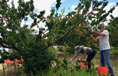 Volunteers picking apricots, Saratoga June 13