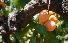 Apricot branch abundance