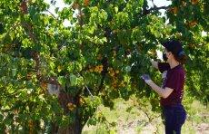 Volunteer harvesting apricots, Saratoga June 2020